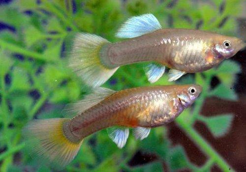 Гуппи ассорти (Poecilia reticulata Mixt)